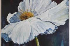 Californian Poppy II